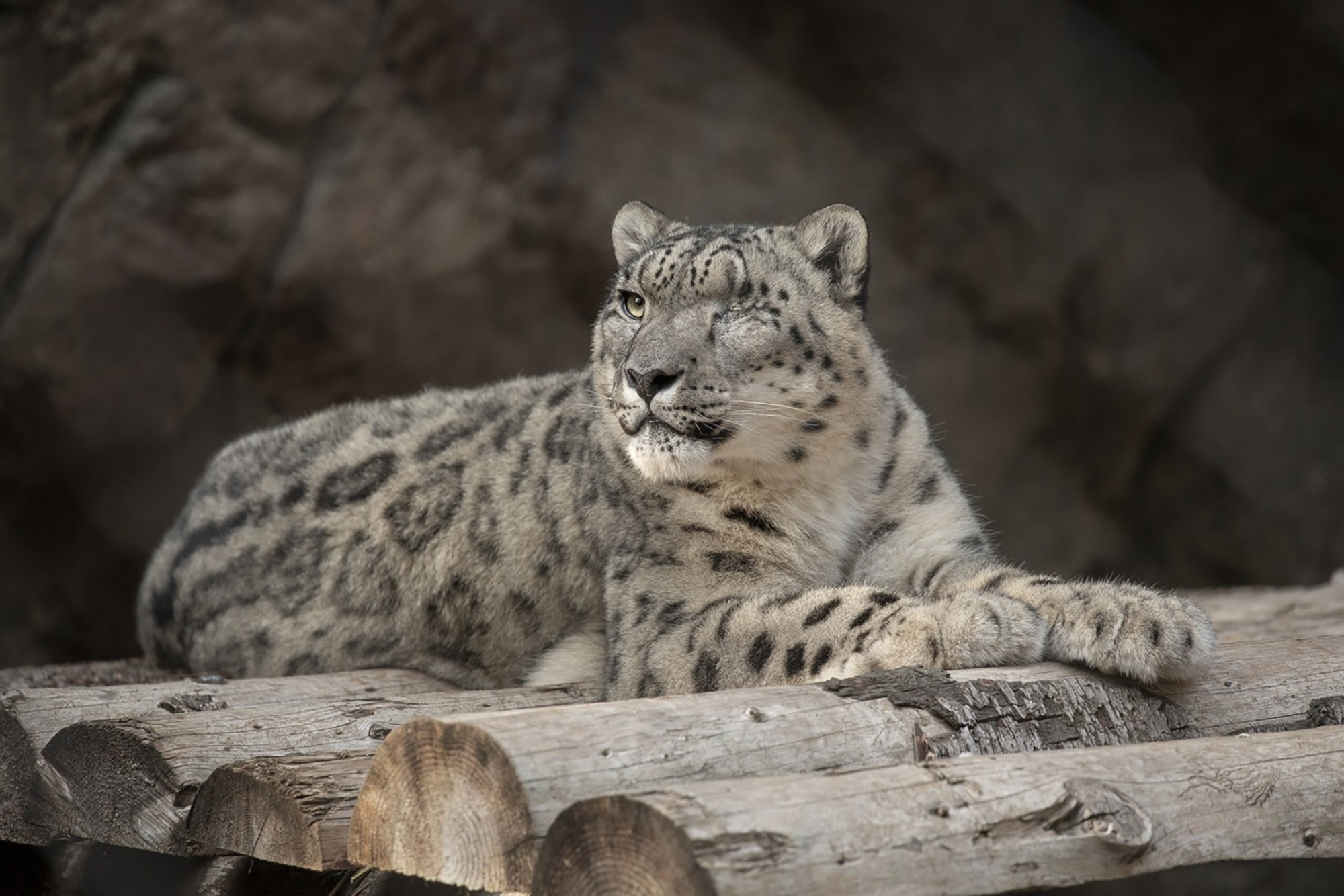 Snow Leopard at San Diego Zoo Contracts Coronavirus