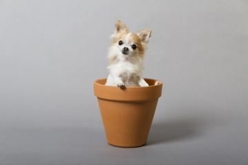 Smallest Service Dog