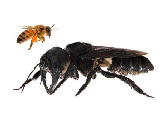 190221-bee-megachile-pluto-ac-503p_fb022