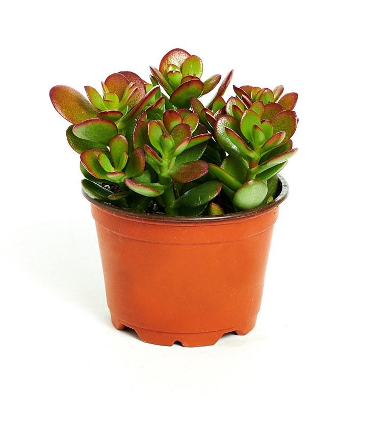 Jade Plant In 4 Inch Pot