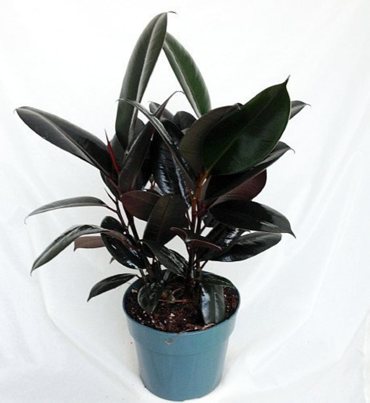 Burgundy Rubber Tree Plant In 4 Inch Pot