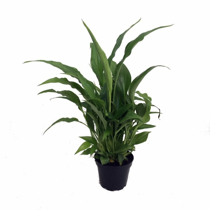 Peace Lily Plant In 4 Inch Pot