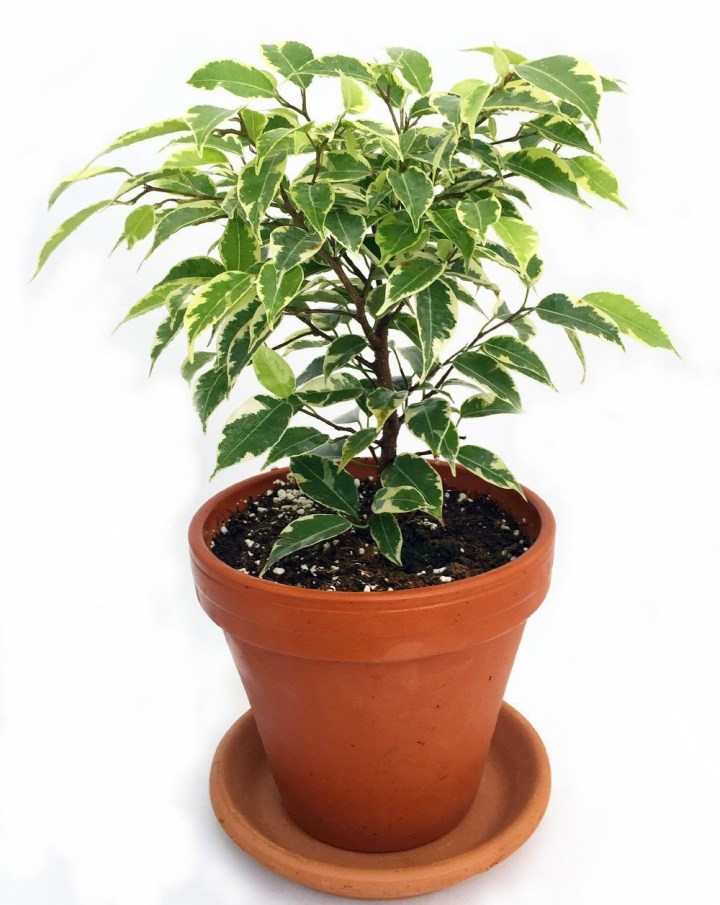 Weeping Fig Ficus Tree In 4 Inch Clay Pot