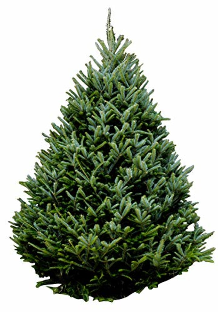 Hallmark Real Christmas Tree, Fraser Fir, 6 Foot To 7 Foot, No Stand