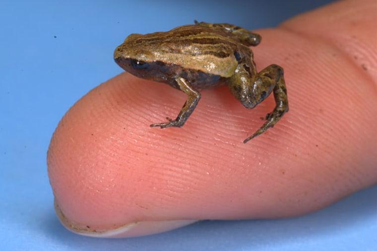 Image: Noblella pygmaea frog on a fingertip.