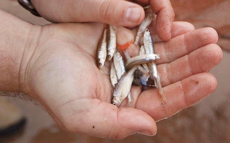 Image: Rescued minnows