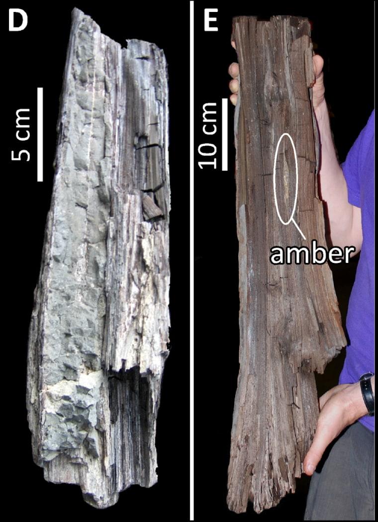 Image: Side by side images of redwood specimens