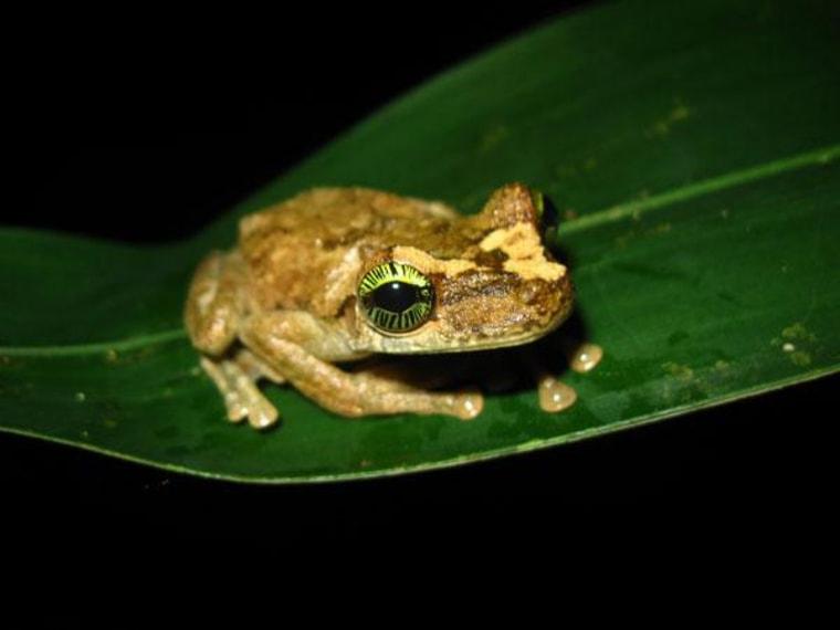A tree frog (Osteocephalus heyeri) from the Amazonian rain forest.