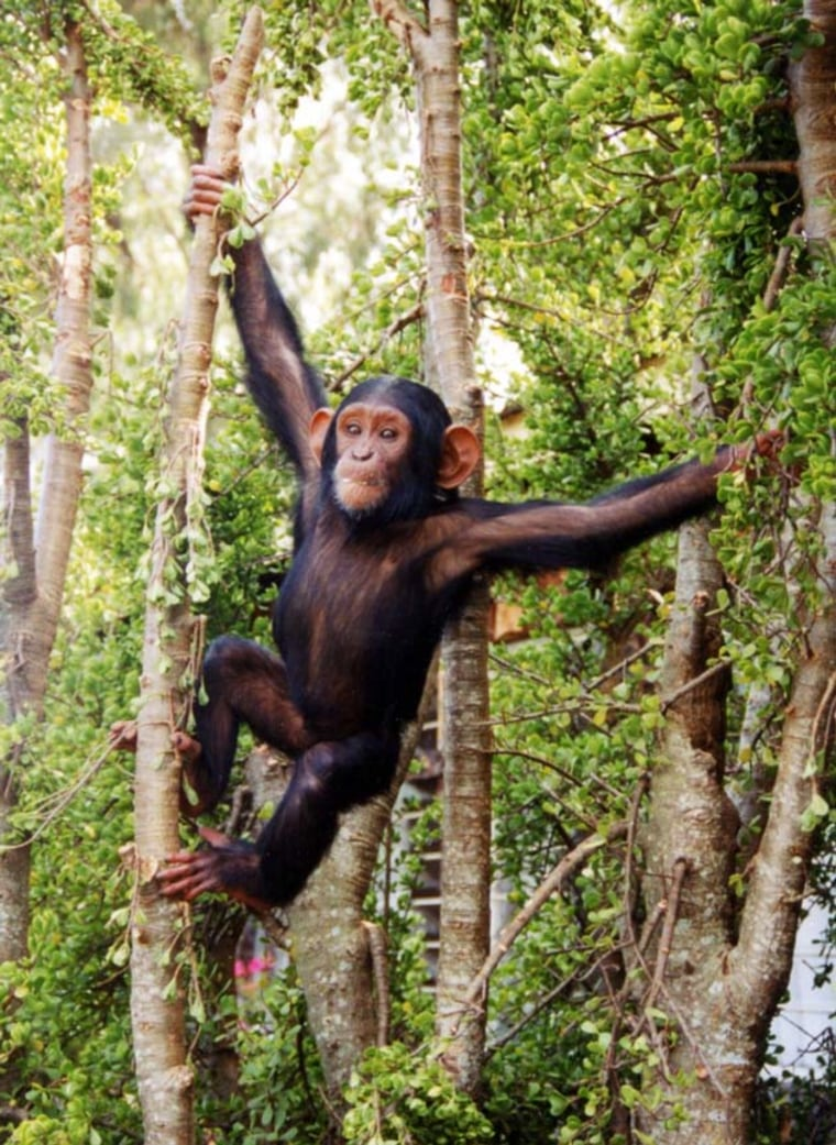 Chimpanzees are humans' closest relatives. On the evolutionary tree of life, chimps and humans split about 4 million years ago, some researchers think.
