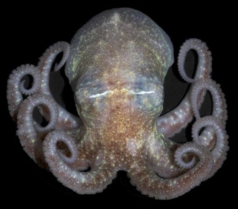 Antarctic octopus (Paraledone turqueti). Credit: E. Jorgensen, NOAA 2007
