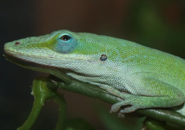 Image: Lizard