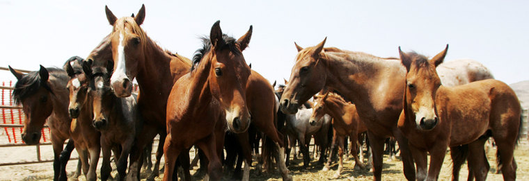Image: Wild horses gathered from the Fox & Lake Herd Management Area in Washoe County, Nev.