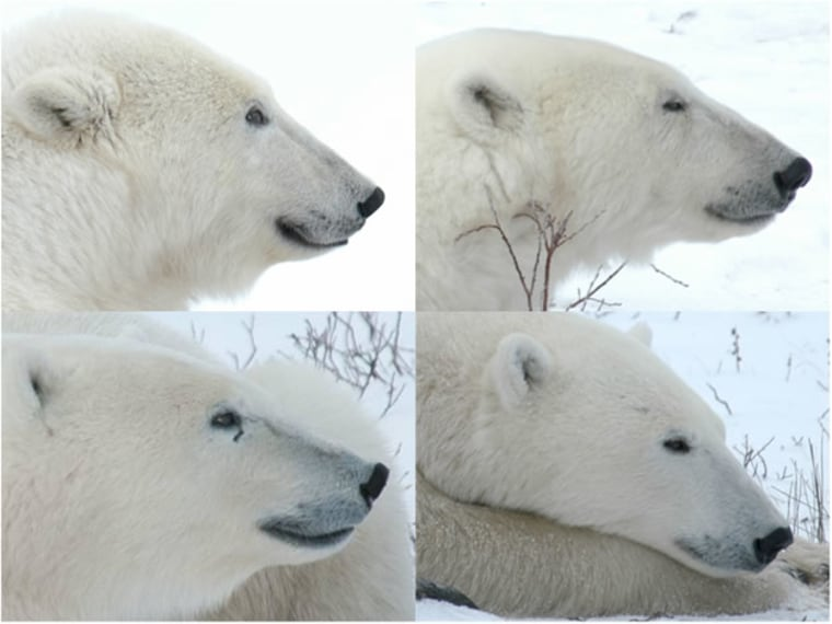 The Polar Bear Photo-identification Library offers these profiles as examples of usable photos. It also notes that photos taken from more than 150 feet away, even with a zoom lens, probably won't be clear enough.