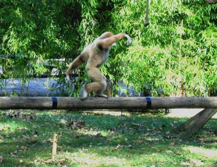 A juvenile white-handed gibbon walks along a pole in the Wild Animal Park Planckendael, Belgium.