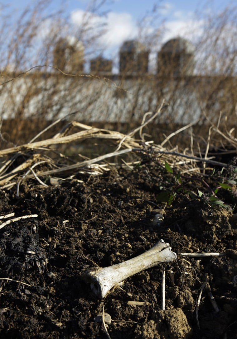 Image: Cow bone in compost