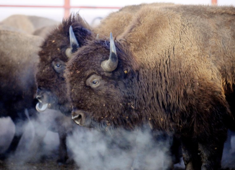 Image: Bison wait in a corral