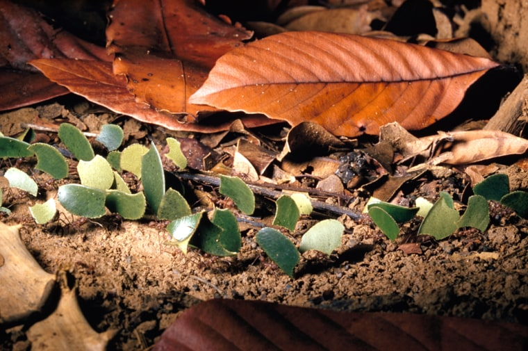 Image: Leafcutter ants haul plant bits in a row on the rain forest floor