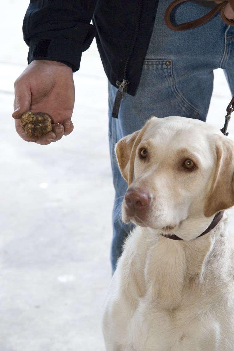 Experts claim that any dog can be trained to hunt for truffles, such as this truffle dog Stella, a Labrador retriever.