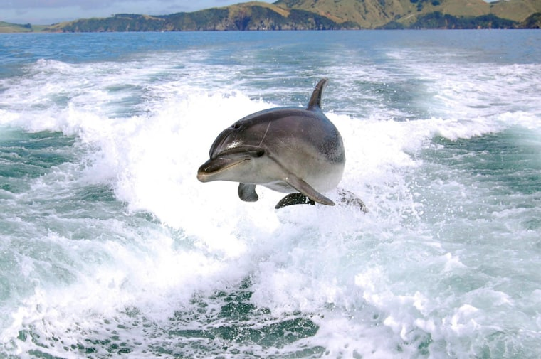 Image: A dolphin is airborne