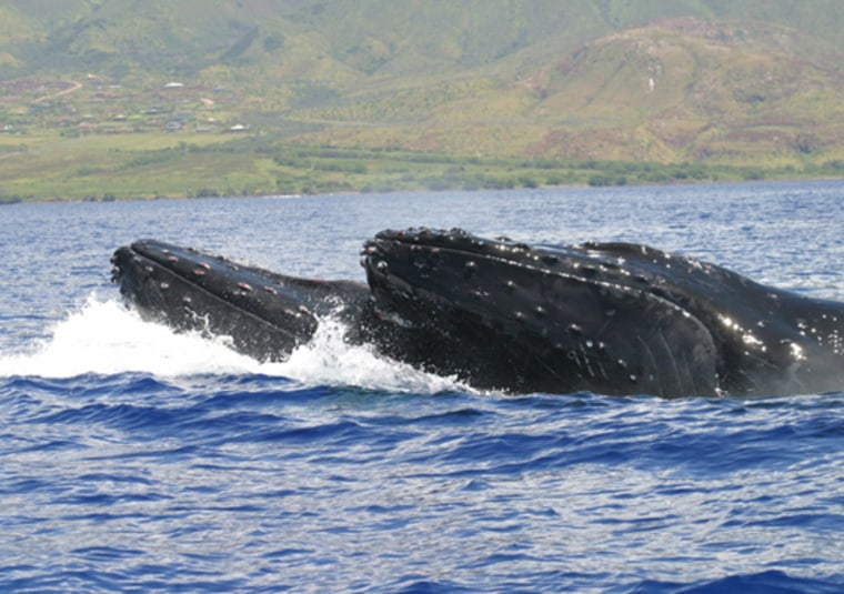 Image: Competing humpback whales