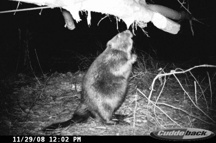 Image: A beaver at a Detroit Edison riverfront plant