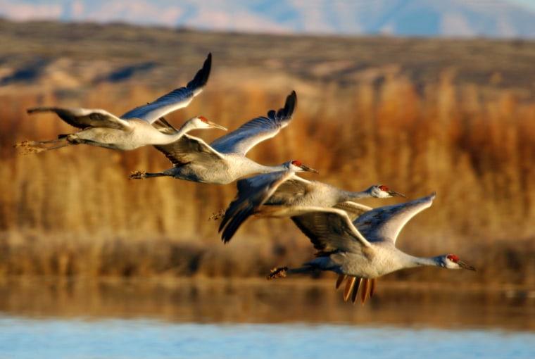 Image: Sandhill Cranes