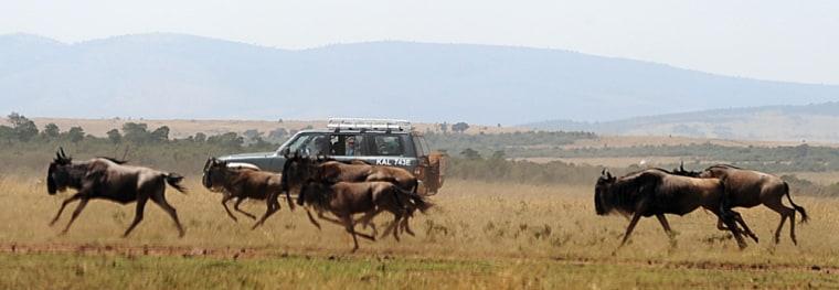 Image: Tourists watch a herd of Wildebeest run through a field