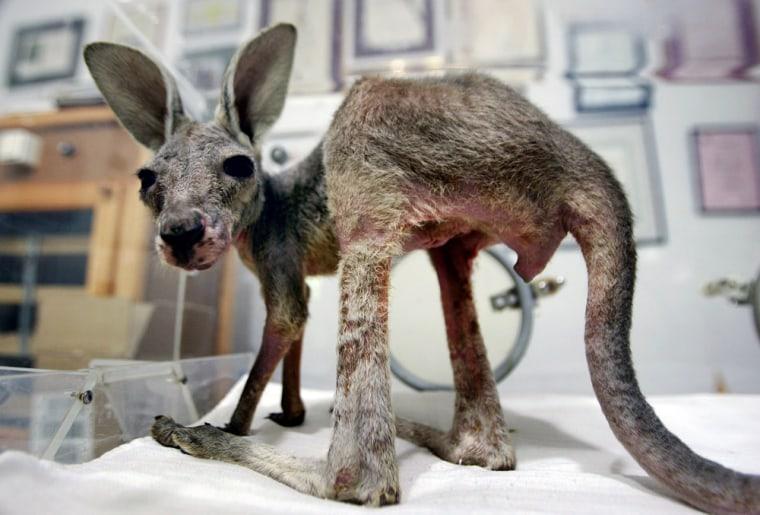 Image: A baby kangaroo named Tijana