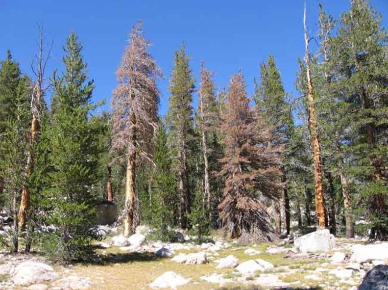Image: Lodgepole pine