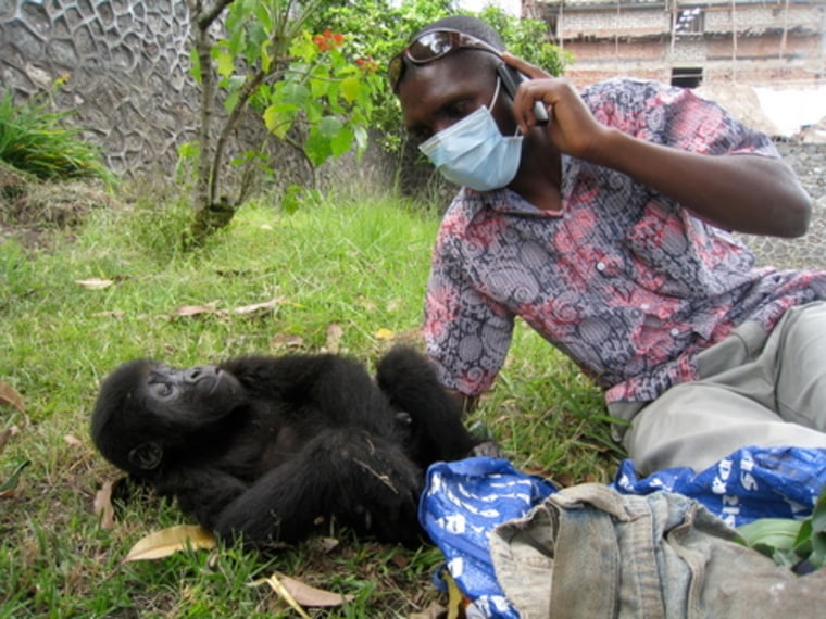 A veteranarian checks on the health of a baby gorilla rescued from smugglers in Goma, Congo. She was found inside the blue plastic bag at right.