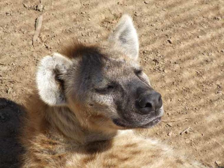 Image: hyena