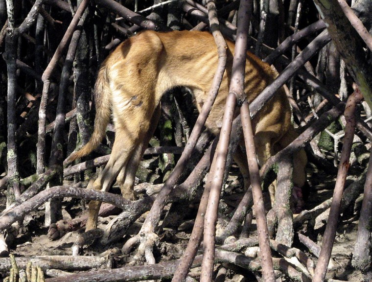 Image: A dog eats the remains of another dog on Pulau Selat Kering