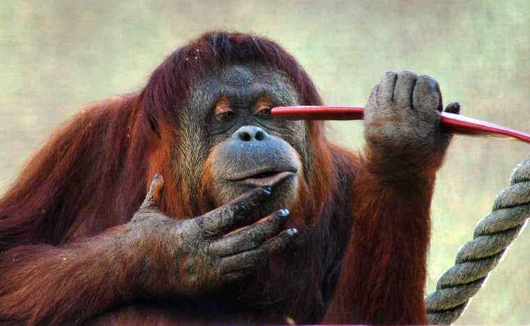 Image: 'Karta', a 62kg orangutan who short circuited electrical wires and climbed a fence using a makeshift ladder