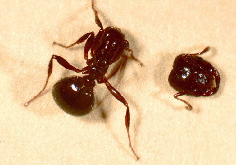 This red fire ant lost its head aftera maggot from aphorid fly ate away at the insect's brain.