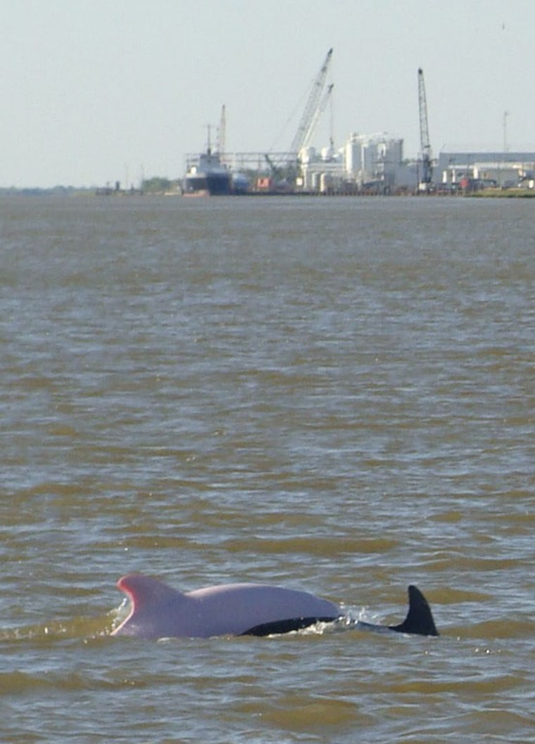 An albinodolphin, left,swimsnext to darker dolphin in the lower Calcasieu Ship Channel south of Lake Charles, La. Biologist say albino dolphins are rare— the Lake Charles animal is just the 14th reliably reported worldwide, and the third in the Gulf of Mexico.
