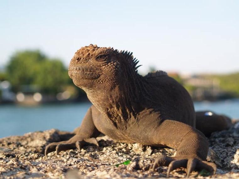 A marine iguana in the Galapagos.
