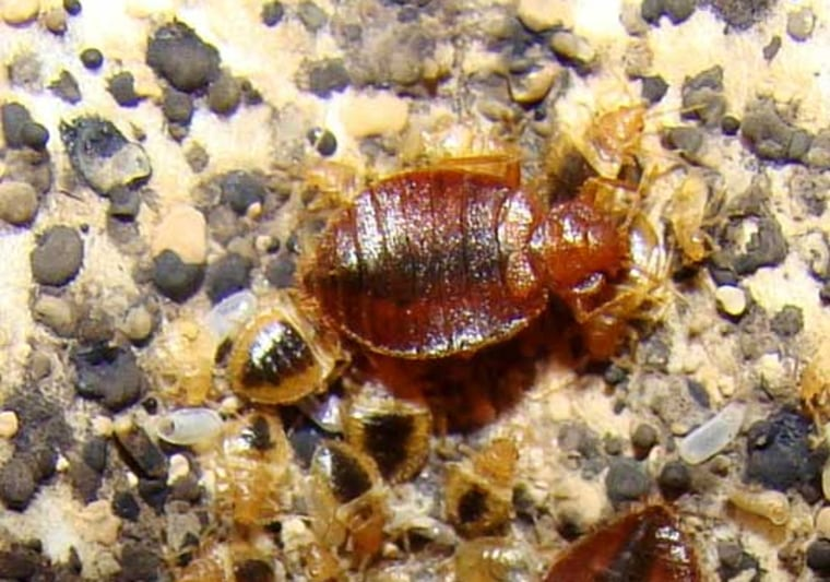 Bed bugs, tiny reddish-brown insects last seen in great numbers prior to World War II, are on the rebound. Scientists are using the bed bug's own alarm pheromones as a method of control. The research may add to the arsenal of tools for fighting the nuisance.