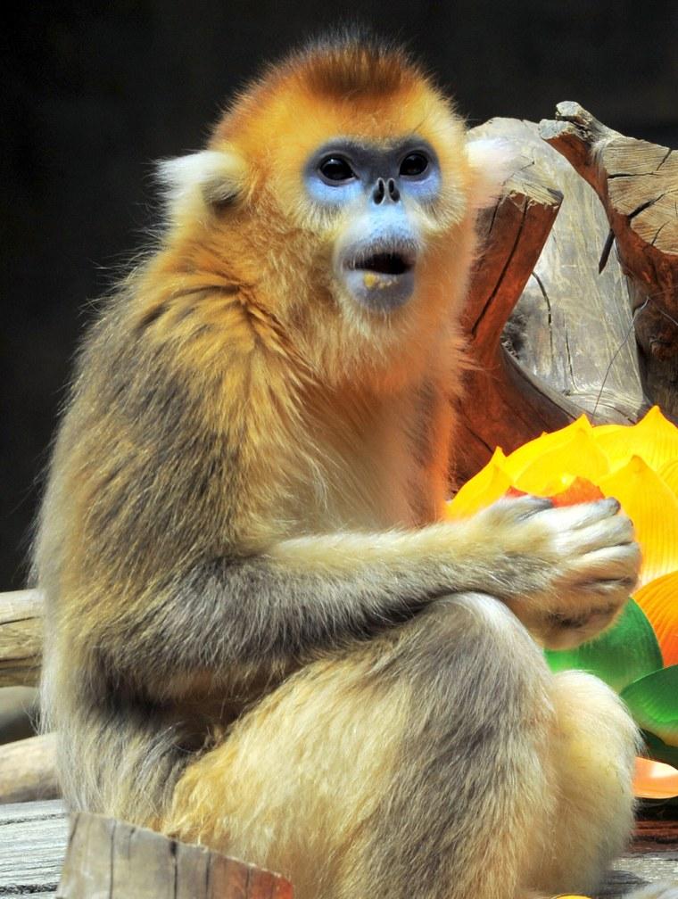 Image: A golden snub-nosed monkey eats a peach