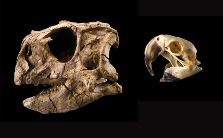 Image: Dinosaur and parrot skulls