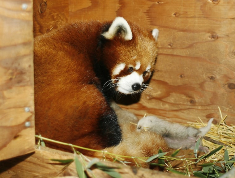 Image: Red panda mom Shan Tou curls up with her triplet babies