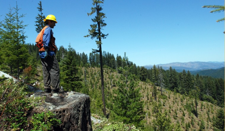 Image: omakotsi Restoration Project crew supervisor Aaron Nauth stands on the stump of a centuries old tree and looks over an old clearcut