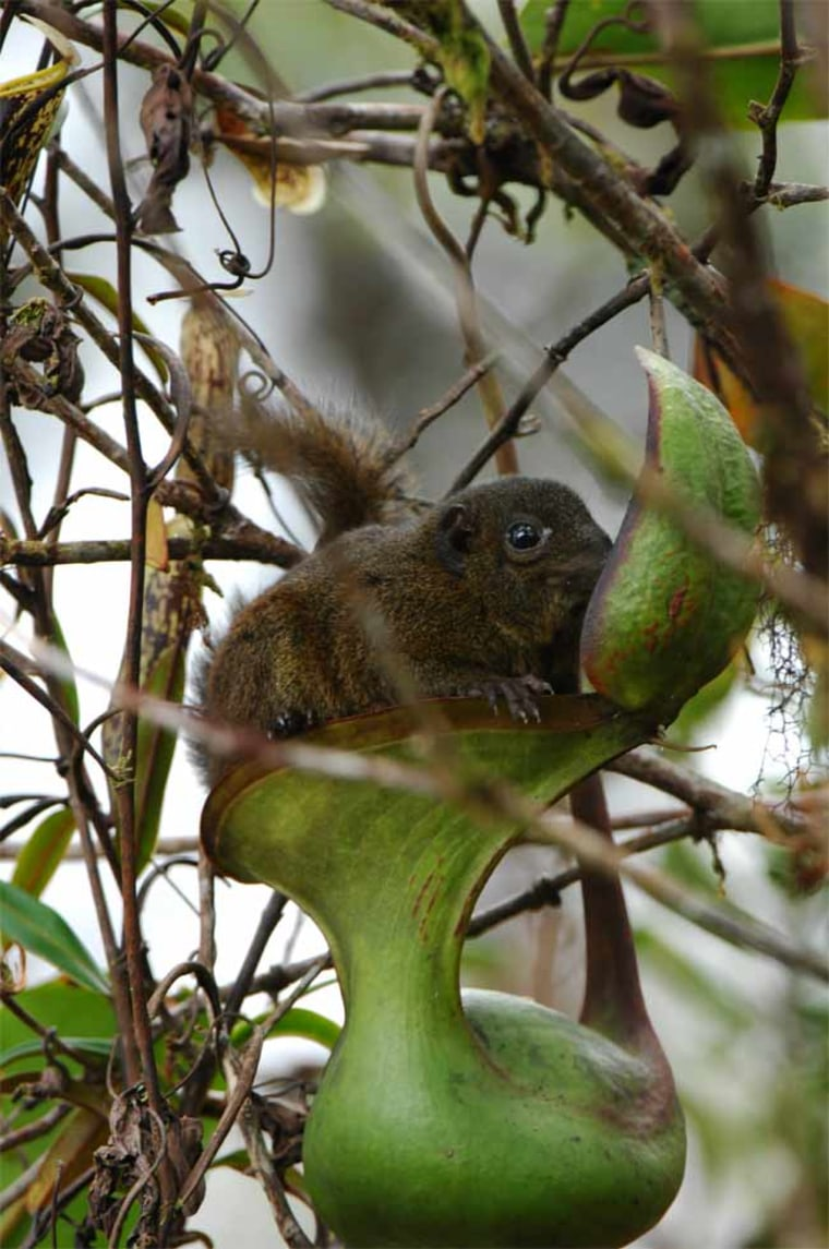 Mountain tree shrews (Tupaia montana), like this one, feed on the nectar coating the undersides of pitcher plant leaves. Conveniently, they can also defecate into the pitcher, leaving nitrogen-rich feces for the plant to consume.