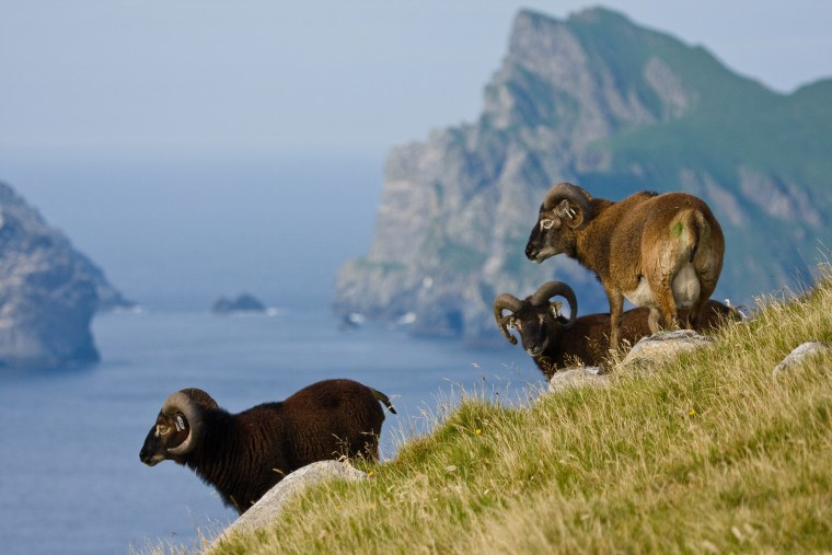 The shrinking sheep on Scotland's Hirta Island have proven that climate can trump natural selection, researchers say. The average body size has shrunk by 5 percent since 1985.