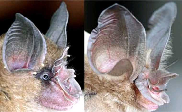 These images are of the noseleaf of a typical horseshoe bat species (left) vs. that of Bourret's horseshoe bat, the Rhinolophus paradoxolophus (right). Computer modeling indicates the extreme nose is used to create a highly focused sonar beam.