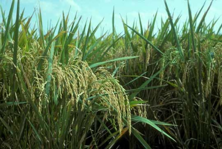 Image: Rice crop