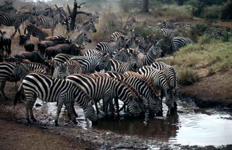 Images: Zebras and wildebeest