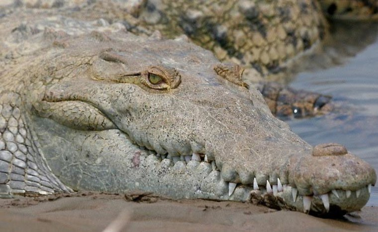 Crocodiles, and their cousins, alligators, were shown to be less diversified than certain groups of mammals, birds and fish.