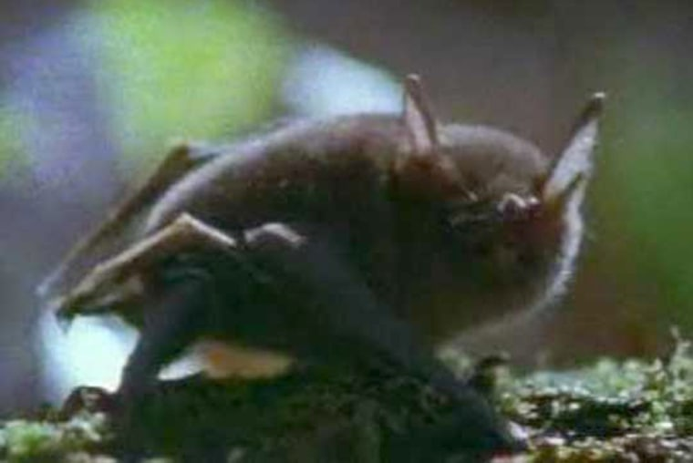 Image: A Bat That Walks and Climbs