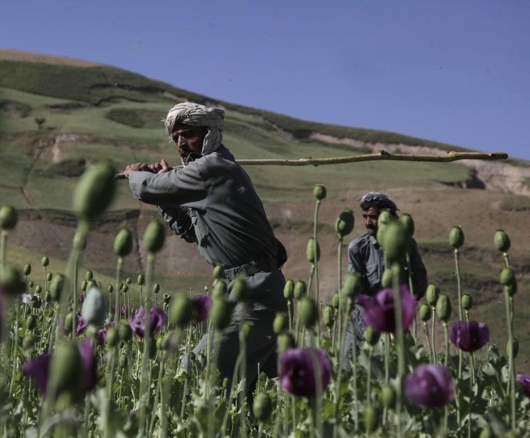 Image: Afghan poppy field