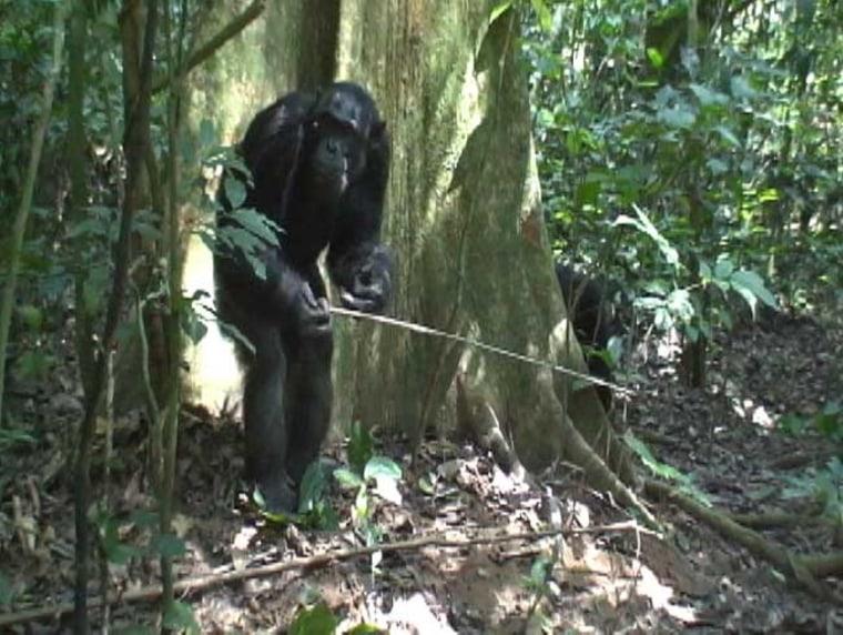 Image: Chimp using tool